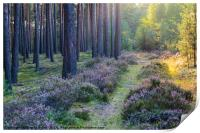 Woodland with heather at sunset, Print