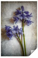 Bluebell Delight, Print