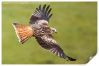 Red Kite Low Fly, Print