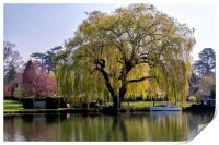 Weeping willow on the Thames, Print