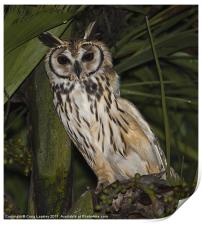 Striped owl sheltering in tree, Print
