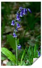 A Single Bluebell at Emmetts Garden, Kent, United, Print