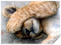 The Lion Sleeps - Sleeping Lion Cub, Antelope Park, Print