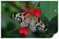 Butterfly, Print