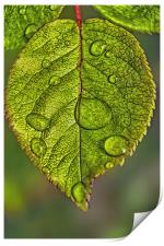 Raindrops On A Leaf, Print