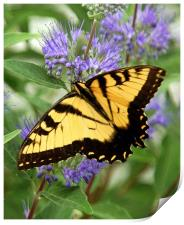 Eastern Tiger Swallowtail Butterfly, Print