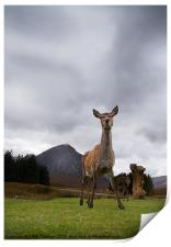 Deer at Glencoe, Print