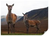 Deer in the Highlands, Print