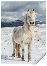 Welsh Mountain Pony, Print