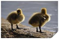 Fluffy Ducklings, Print