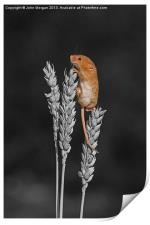 Harvest mouse., Print