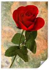 Red Rose on Texture, Print