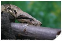 Boa resting... or not, Print