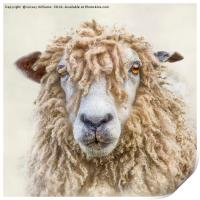 Leicester Longwool Sheep, Print