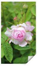 Darling Buds Of  A Pink Rose, Print