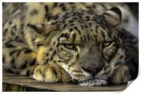 Snow Leopard - Not Getting Up., Print