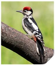 Great spotted woodpecker, Print
