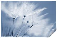 Dusty Blue Dandelion Clock and Water Droplets, Print
