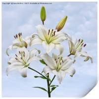 Spray of white Asiatic Lilies, Print