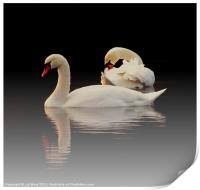 Beautiful Swans, Print
