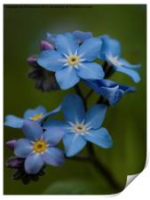 Forget Me Not flower, Print