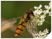 hoverfly, Print