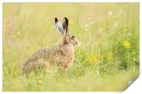 Hare comes Summer, Print