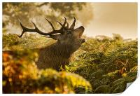 Calling Stag, Print