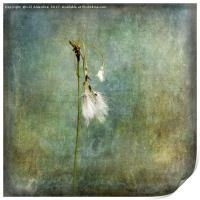 Cotton Grass, Print