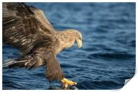 White-tailed Eagle Hunting, Print