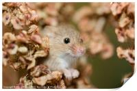 Harvest mouse in dry leaves, Print
