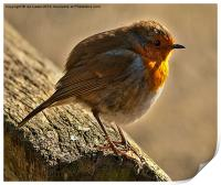 Winter Robin, Print