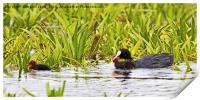 Coot Moving Chick, Print