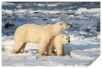 Standing Guard Over Her Cub, Churchill, Canada, Print