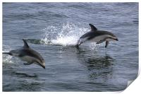 Peales Dolphins Porpoising, Print