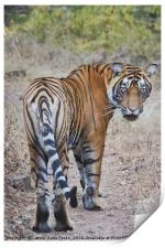 Young Male Tiger, Print