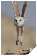 Barn Owl Coming in to Land, Print