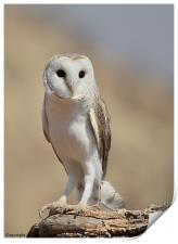 Barn Owl at Rest, Print