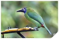 Blue-throated Toucanet, Print