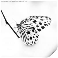 The Paper Kite Butterfly in B&W, Print