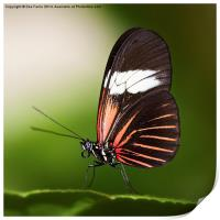 Red Postman Butterfly, Print