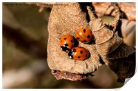 Three Ladybirds on a dead leaf (2), Print