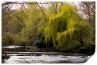 Weeping Willow on River Blyth, Print