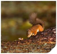 Red Squirrel Searching for Food, Print