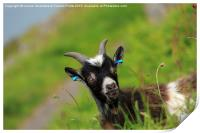 Lynton Goat, Valley of the Rocks, Exmoor, Print