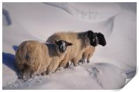 sheep in the snow, Print