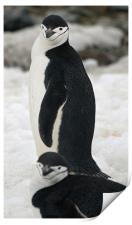 Chinstrap penguins, Print