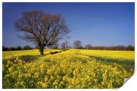 Rapeseed field & Tree, Derbyshire, Print