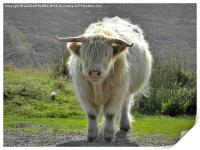 highland cow face off 2, Print