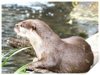 Asian Short Clawed Otter                          , Print